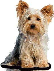 Yorkshire Terrier látása látássérült patológia